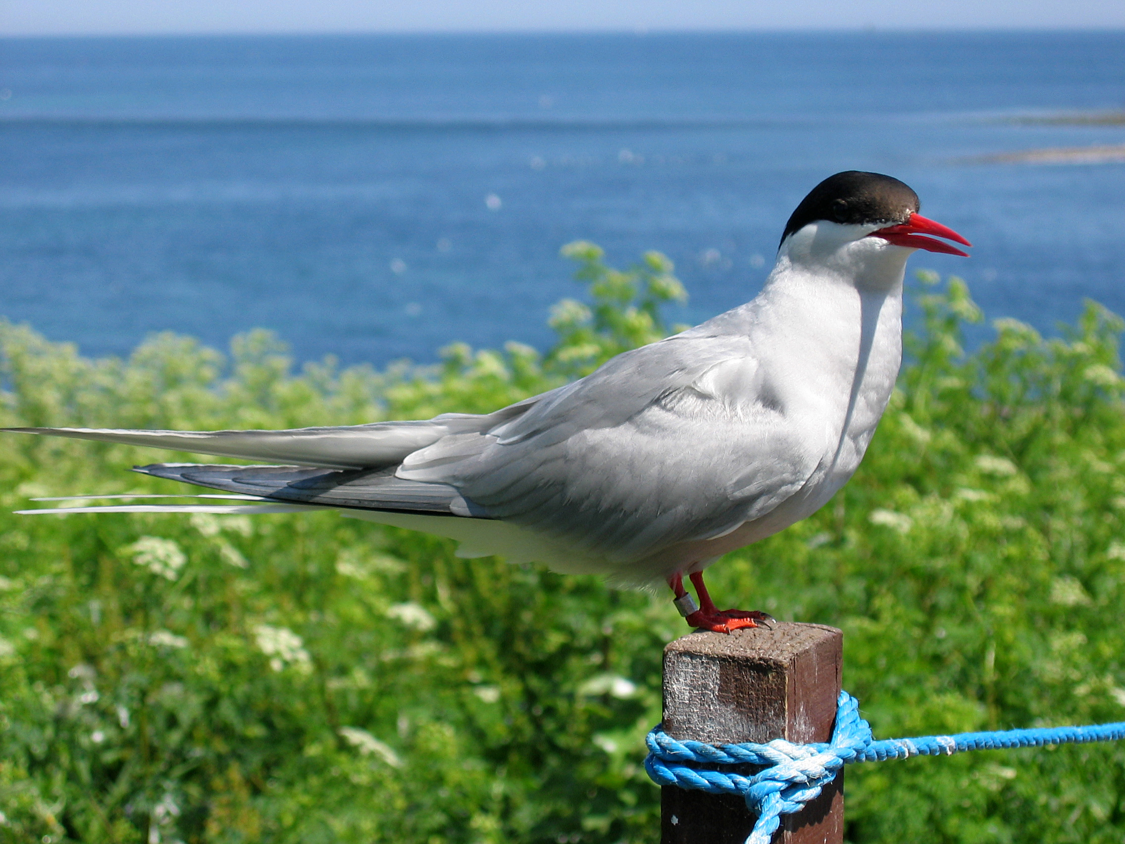 https://upload.wikimedia.org/wikipedia/commons/2/29/2009_07_02_-_Arctic_tern_on_Farne_Islands_-_The_blue_rope_demarcates_the_visitors%27_path.JPG