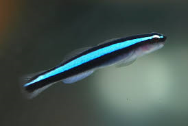 neon_goby
